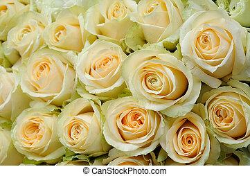 cream-colored roses - Background of beautiful cream-colored...