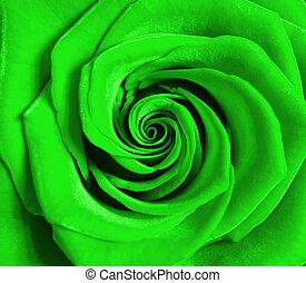 rose - background of beautiful flowering rose