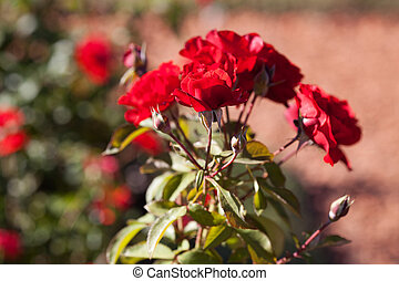 background of beautiful roses in the garden