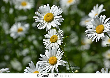 Background of blooming daisies.