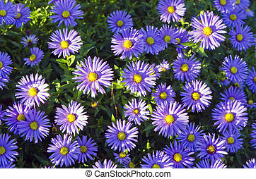 Background of blooming garden flowers blue yellow.