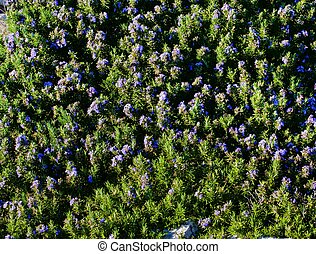 Background of Blooming Rosemary