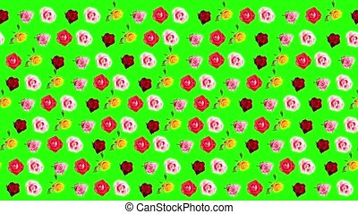 Background of blooming roses