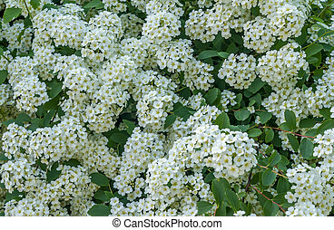 background of blooming small white flowers on bush