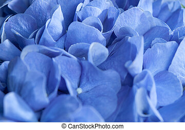 background of blue hydrangea flowers