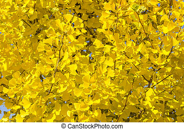 Background of branches of the Ginkgo biloba with autumn leaves