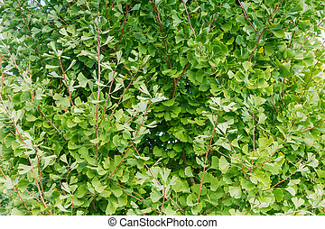 Background of branches of the Ginkgo biloba with green leaves
