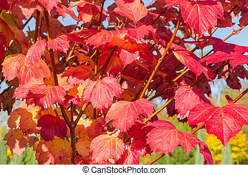 Background of branches of viburnum with red autumn leaves