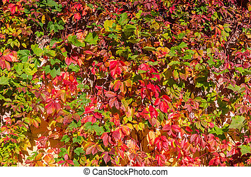 Background of climbing plants with autumn leaves in sunny day