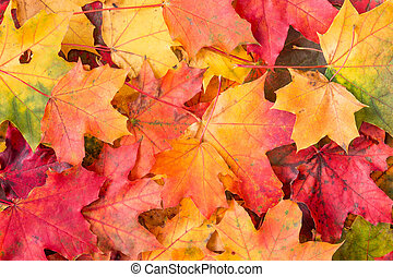 Background of colored maple leaves