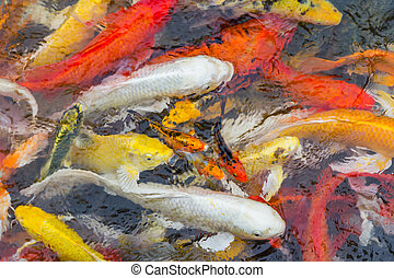 Background of colorful Koi fish