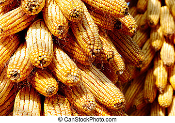 Background of corn cobs