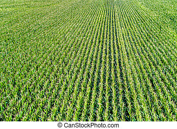 Background of corn field from aerial view