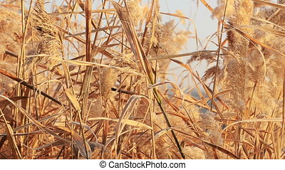 Background of dry reeds develops in the wind - Background,...