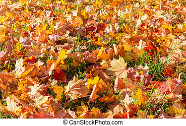 Background of fallen maple leaves on a lawn