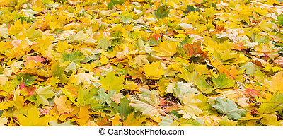 Background of fallen varicolored maple leaves