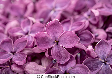 background of flowers of lilac closeup