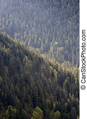 Background of forest with coniferous trees