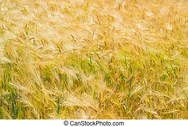 Background of fragment of the field with ripening barley