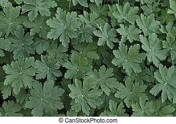 Beauty background of green geranium leaves in garden