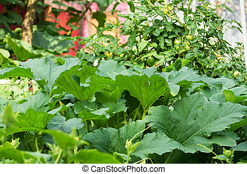 Background of green cucumber leaves and young ovaries. Cucumbers grow in the garden on a bed.