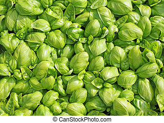 background of green fresh leaves Basil