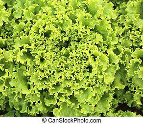 background of green fresh lettuce