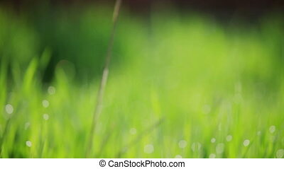 background of green gras with dew