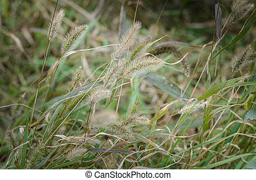 background of green grass with spikelets