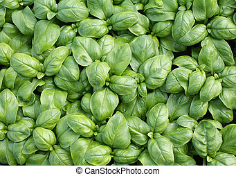 background of green leaves Basil
