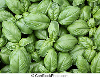 background of green leaves of basil