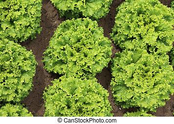 background of green leaves of lettuce