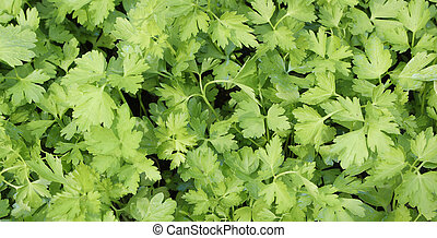 background of green leaves of parsley