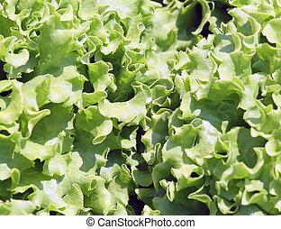 background of green lettuce