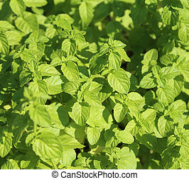 background of Green Mint leaves