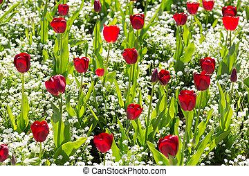 Background of growing tulips