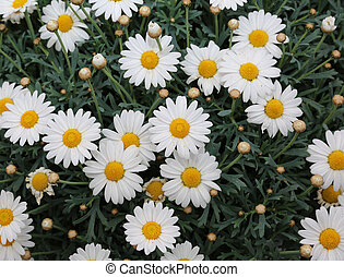 background of large white daisies bloomed in the spring