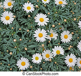 white daisies bloomed in the spring with green leaves