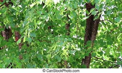 Background of linden tree branch