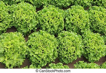 background of lush green leaves of lettuce