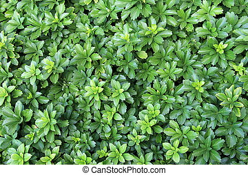 Gorgeous background of lush green plants used as ground cover in landscaped garden.