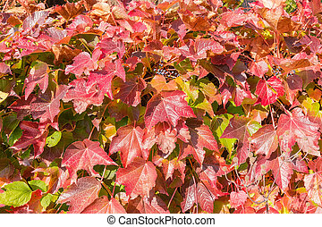 Background of maiden grapes stems with autumn leaves close-up