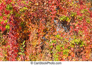 Background of maiden grapes stems with autumn leaves