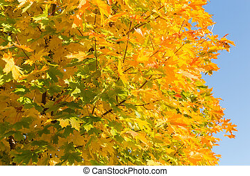 Background of maple branches with autumn varicolored leaves