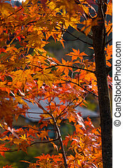 Background of maple leaves on tree in autumn