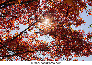 Background of northern red oak branches with autumn leaves backlit
