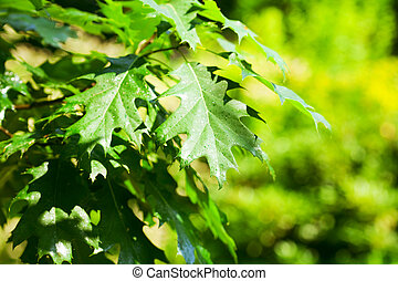 background of oak leaves