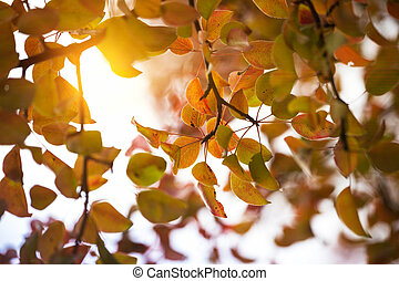 background of pear branches in the autumn
