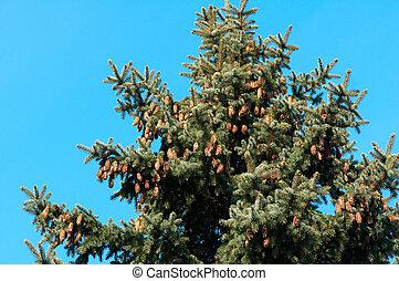 Background of pine tree needles with cones