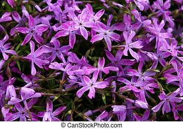 background of purple flowers